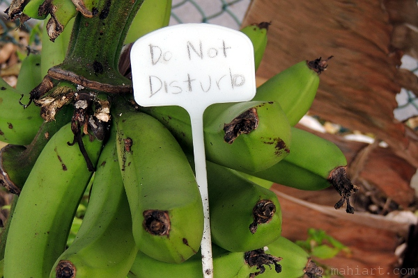 Green bananas, ripening on tree with a Do Not Disturb sign