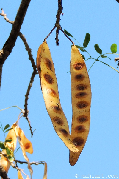 Large bean like seed pods hanging from a tree branch, possibly a mimosa?