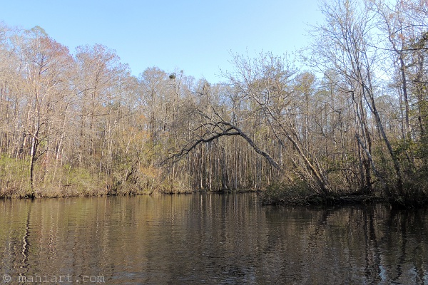 Trees leaning over to the other side of a slough in the Waccamaw River