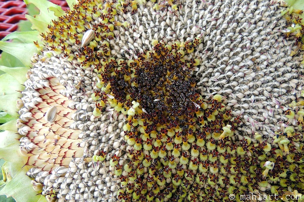 Heart of sunflower, showing seeds ripe for eating