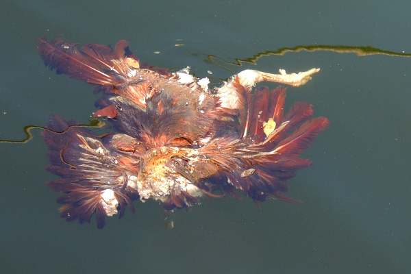 Dead chicken floating in the Miami River
