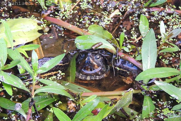 Turtle peeking out through water plants in the Waccamaw River