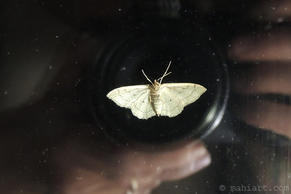 Moth on the outside of a window at night, attracted by indoor light, captured along with the reflection of the photographer