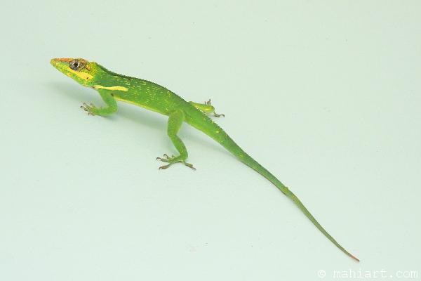 Bright green large knight anole lizard on an aqua wall