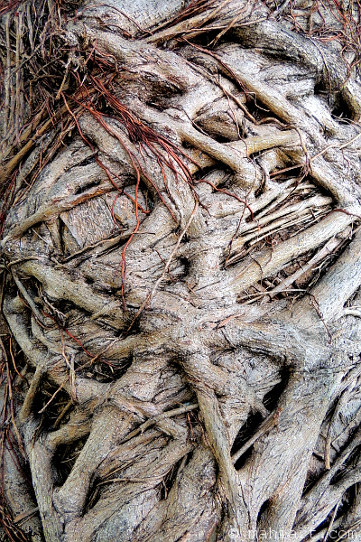 Closeup of interlaced roots and vines on a tree trunk