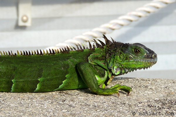 Iguana with port light and dock line in the background