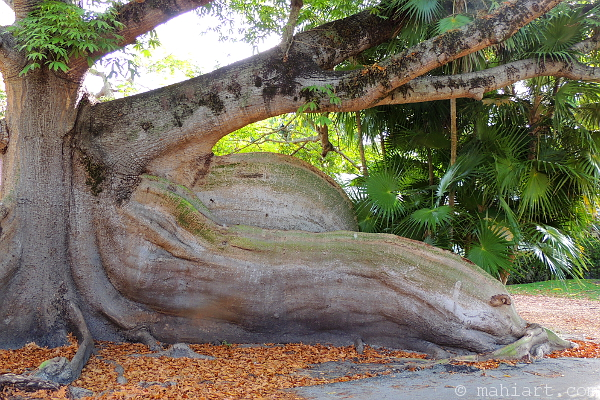 Tree with huge roots in Coconut Grove