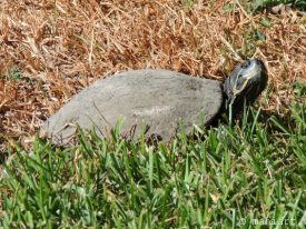 Turtle on the lawn.