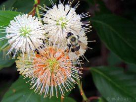 Summer snowflake pollenation.