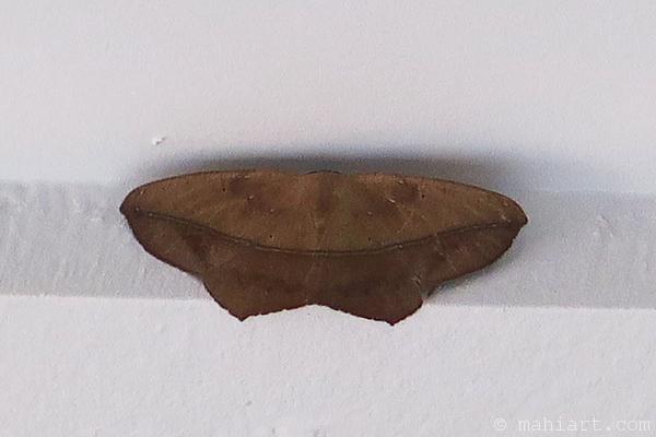 Large maple spanworm.