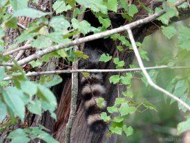Where's the raccoon?