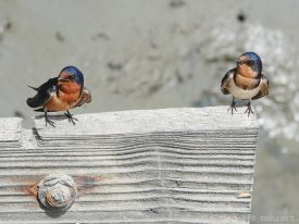 Barn swallows.