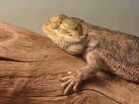 Today's inlet: Sleeping lizard.
