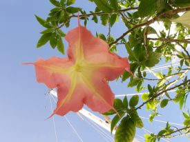 Today's inlet: Belladonna Brugmansia.