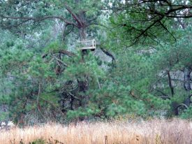 Today's inlet: Deer stand in a pine tree.