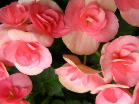 Today's inlet: Begonias?