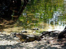 Today's inlet: Iguana 2.