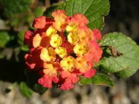 Today's inlet: Lantana.