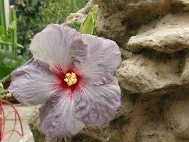 Today's inlet: Hibiscus 3.