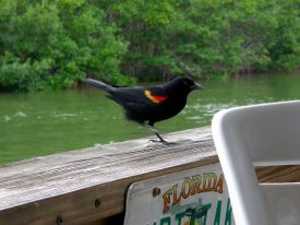 Today's inlet: Red winged blackbird.