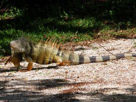 Today's inlet: Iguana 3.