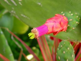 Today's inlet: Cactus flower.