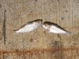 Today's inlet: Bait fish.