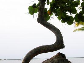 Today's inlet: Curvy tree.