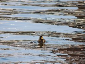 Today's inlet: Duckling.