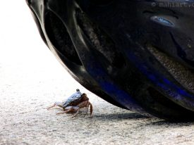 Crab vs. Helmet.