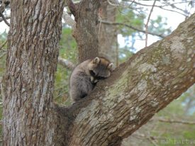 Raccoon tree love.