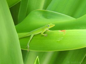 Green anole.