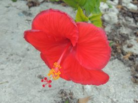 Wilting hibiscus.