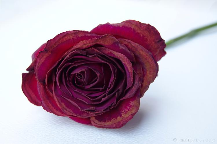 Rose + 11.