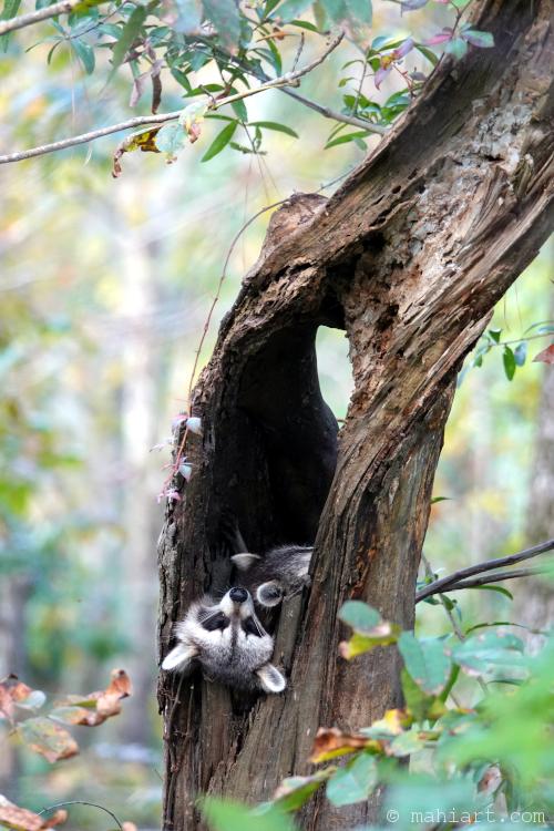 Raccoon family nap.