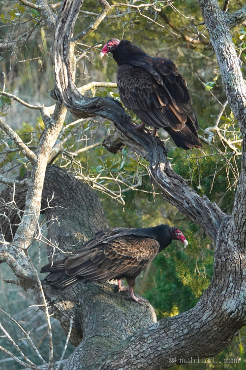 The Vultures.